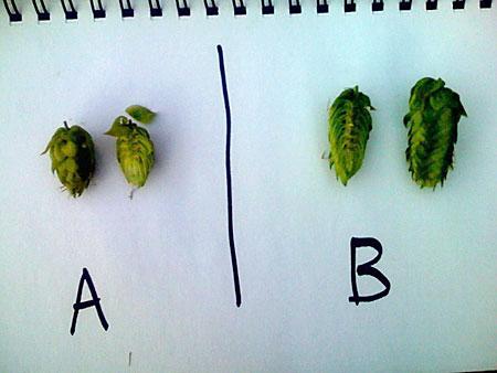 The two hop varieties growing in my backyard.